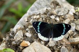 cardchic peru butterfly